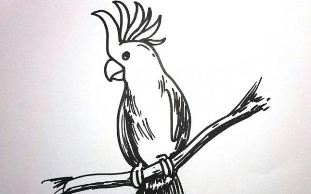 Sketsa Gambar Burung Kakak tua