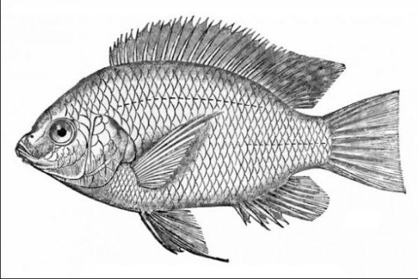 Sketsa Gambar Ikan yang Sering Dikonsumsi