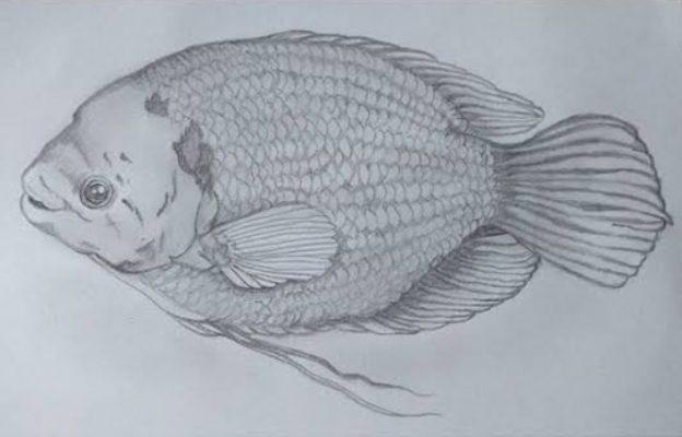 Sketsa Ikan Gurame