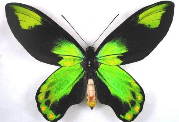 Sketsa Kupu-Kupu Blue Mountain Swallowtail
